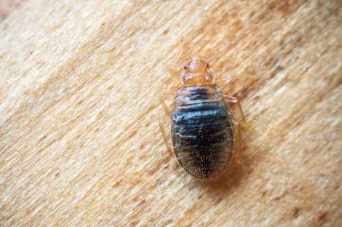 Bed Bug Reports Are Costly For Hotels