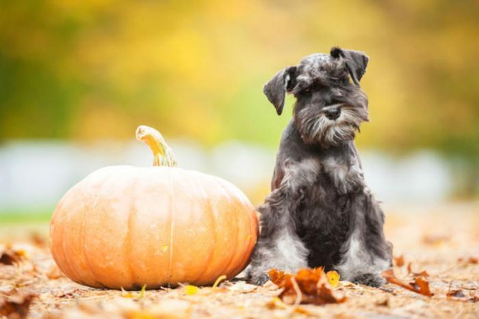 Giving Dogs Canned Pumpkin