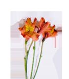 Alstroemaria lily