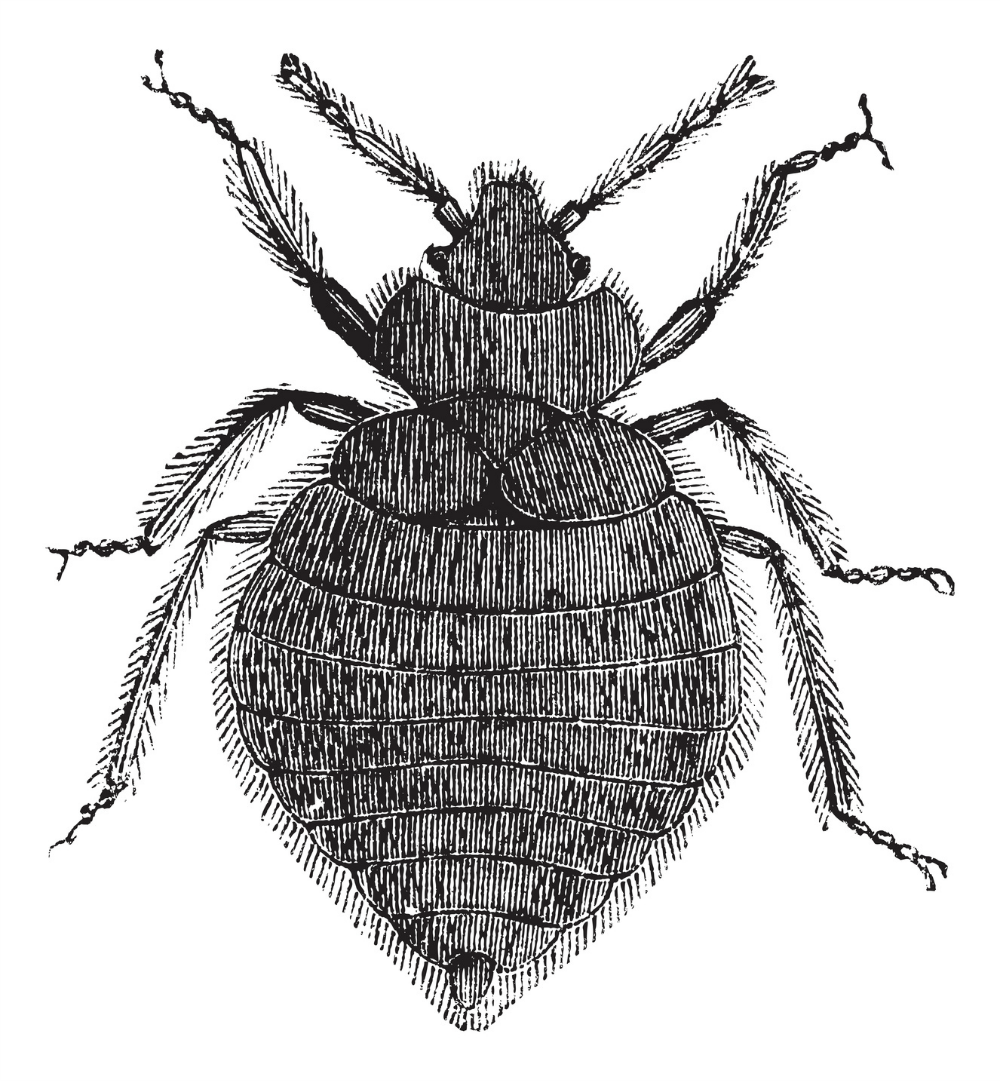 Bed bugs sciox Images