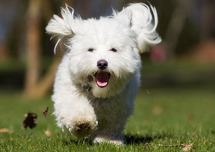 coton de tulear dog running through the grass