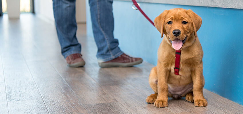 labrador puppy on leash with owner at vet desk
