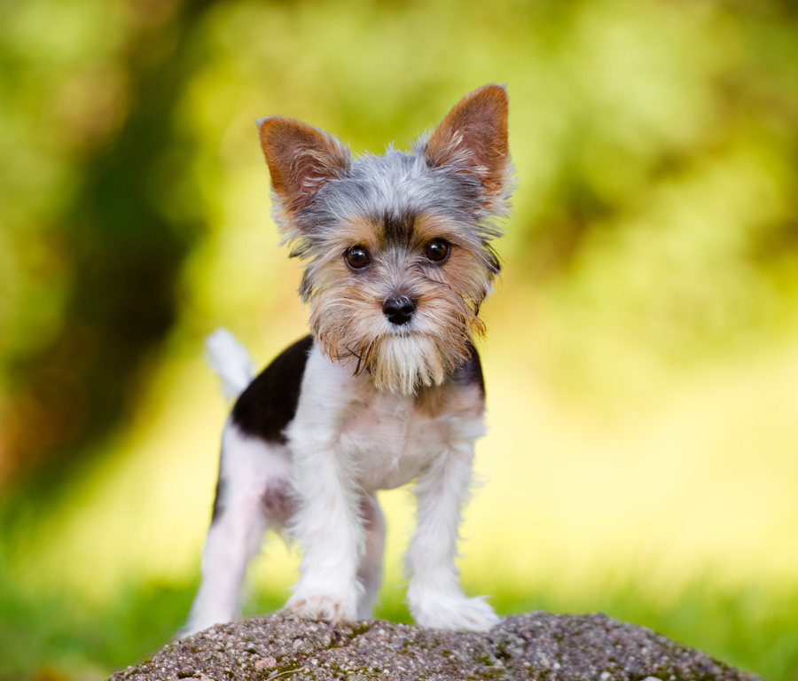 What Is Small Dog Syndrome