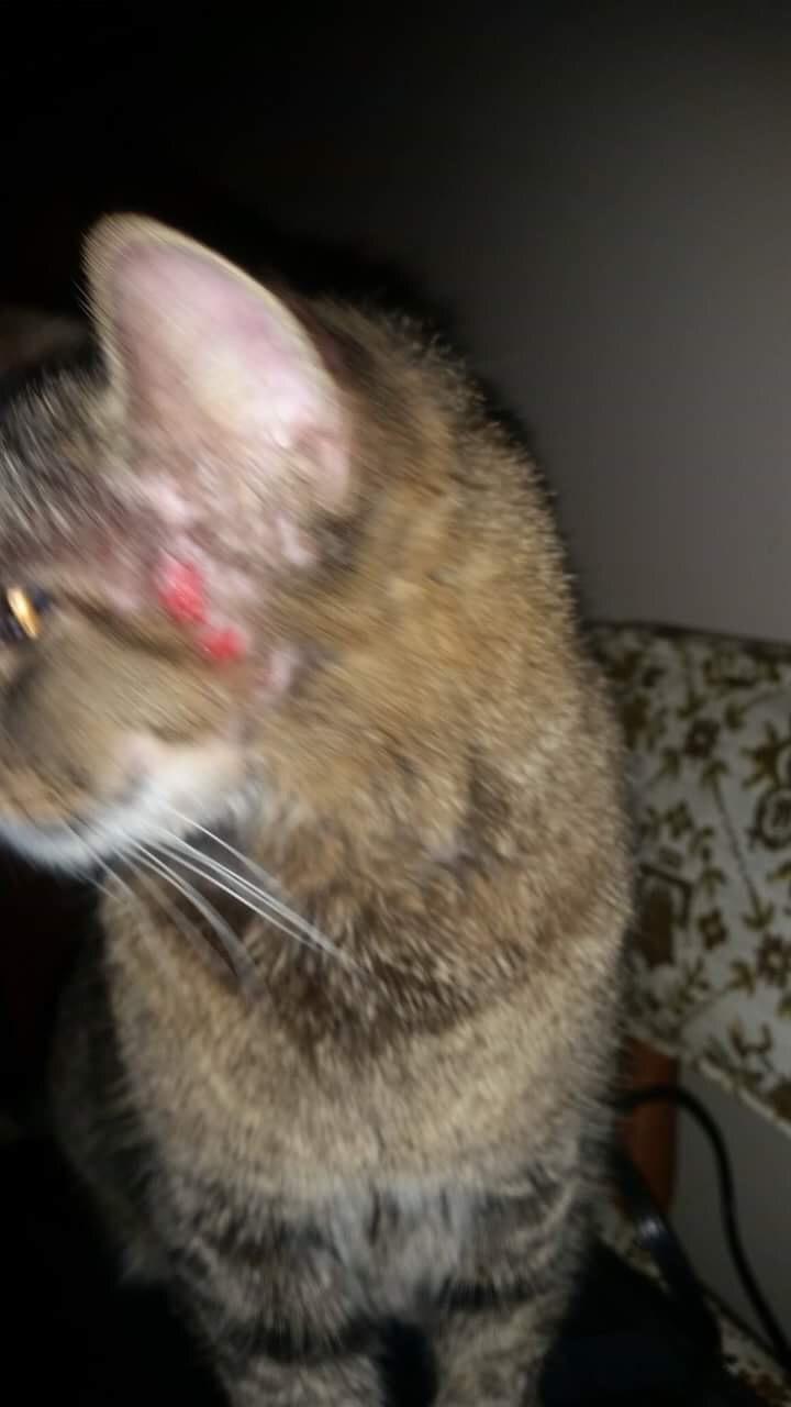 Hartz Cat Flea Tick Drops Reviews